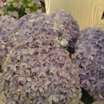 Purple-blue hydrangeas on www.adventuresinexpatland.com