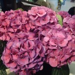 Pink hydrangeas on Adventures in Expat Land